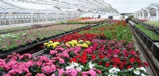 Anzucht von Beet- und Balkonpflanzen